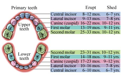 Diagram of upper and lower teeth for tooth eruption sequence
